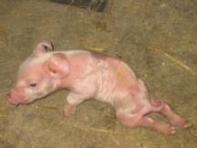 deformed-and-stillborn-piglets1